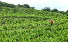 Los viticultores de la denominación de origen de Castilla y León, «optimistas» con la vendimia