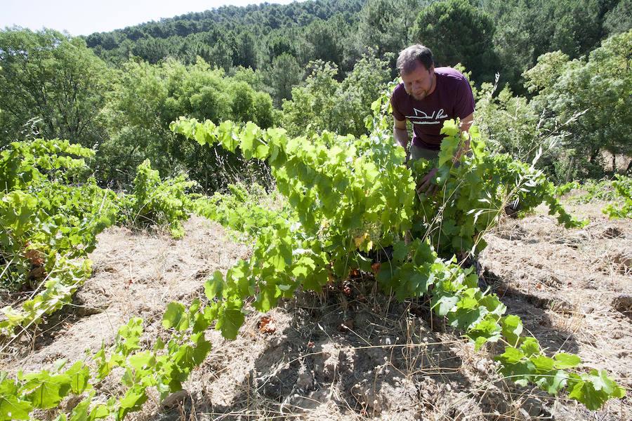 El albillo real abre la vendimia en Castilla y León