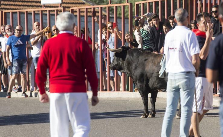 Toro del Alba en Tudela de Duero