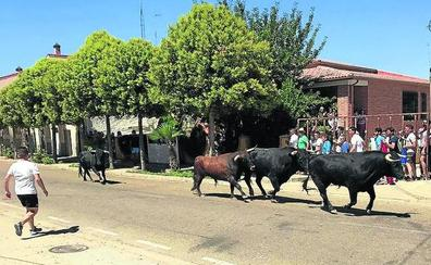 Pollos festeja a San Roque con un tercer encierro que se desarrolló sin incidentes