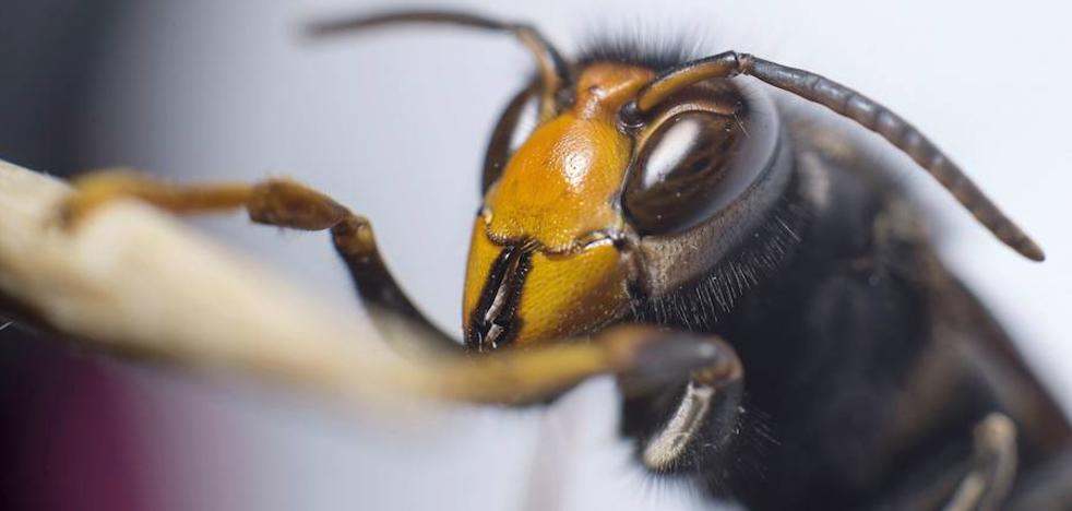 Hallazgos de particulares sitúan a la avispa asiática en Tierra de Campos