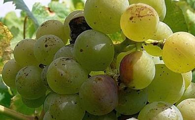 La Junta alerta de un alto nivel de polillas de racimo en los viñedos de Toral de los Vados