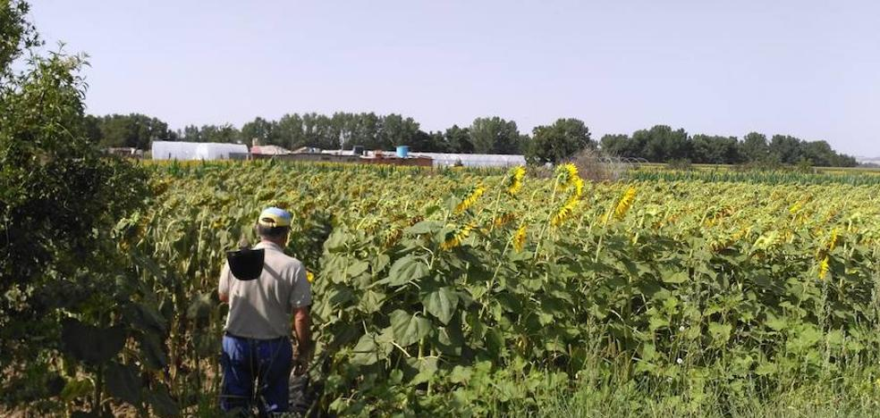 El sector espera un año «muy bueno» de girasol con 15.000 hectáreas más