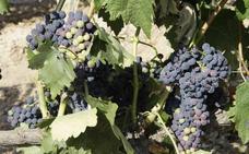 Las uvas, gotas de dulzor