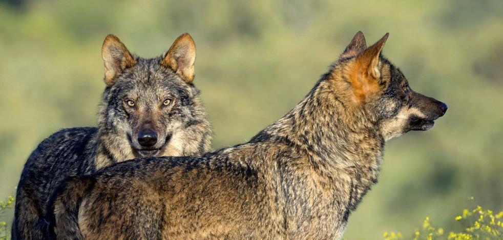 La Alianza convoca una manifestación en Zamora para que se mantenga el aprovechamiento cinegético del lobo