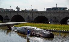 Aparece un cachalote de 15 metros y 1.000 kilos en el Manzanares