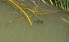 Las tortugas de Florida toman el Carrión