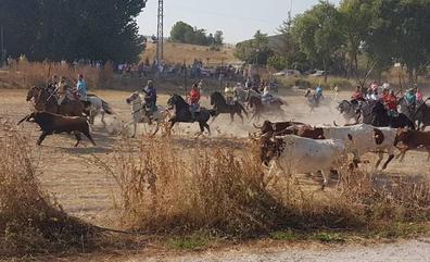 El encierro campero protagoniza los festejos de Montemayor de Pililla