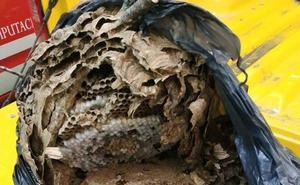 Los bomberos retiran un nido de avispa asiática en Cervera de Pisuerga