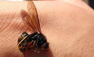 La llegada de la avispa asiática «preocupa mucho» a los apicultores de Palencia
