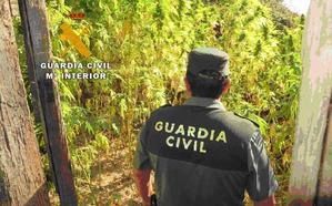 La Guardia Civil desmantela una plantación de cannabis en Mogarraz y detiene a una persona