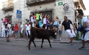 Una vaquilla se sale del nuevo vallado del encierro de Nava