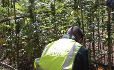 Detienen a un hombre en Boceguillas que cultivaba 204 plantas de marihuana