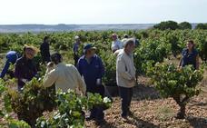 Arranca la vendimia en la DO Cigales en viñedos de Cubillas de Santa Marta