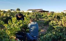 La vendimia se generaliza en la DO Cigales, donde se han recogido ya dos millones de kilos de uva
