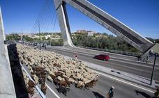 Mil seiscientas ovejas recorren las antiguas cañadas trashumantes de Valladolid