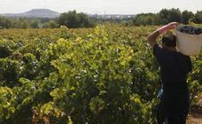 La cosecha en la DO Cigales alcanza ya los dos millones de kilos con la previsión de llegar hasta ocho