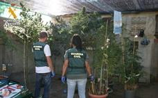 Tres detenidos con 43 plantas de marihuana en Aguilar, Carrión y Venta de Baños