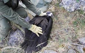 Rescatado un pollo de buitre negro que cayó al Pontón Alto