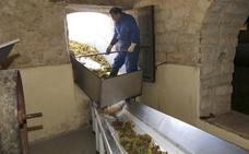 La DO Arlanza inicia la última vendimia de España con «una uva capaz de ofrecer una gran añada»