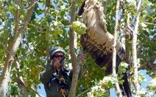 Agentes medioambientales recuperan los restos de dos buitres leonados de entre las ramas de un chopo en Riaguas de San Bartolomé