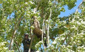 Aparecen muertos dos buitres leonados, uno de ellos ensartado en la rama de un árbol
