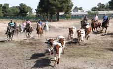 Amigos del Caballo cierra la temporada con su tradicional suelta de bueyes