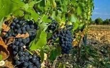 El Bierzo supera el 26% la producción de uva del año pasado hasta alcanzar los 11 millones