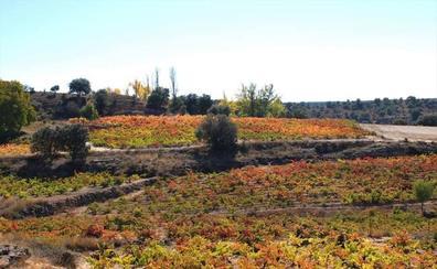 La vendimia superará los 305 millones de kilos de uva en Castilla y León, el 75% más que en 2017