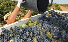 Cigales cierra su vendimia con 8 millones de kilos de uva, el 40% más