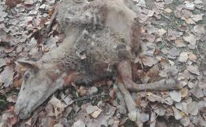 Un ganadero de Muñeca de la Peña, desesperado por los ataques de lobos a su rebaño