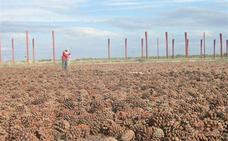 Tres industriales manchegos se enfrentan a 9 años por no vender 500.000 kilos piñas de Marruecos