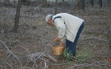 'Barra libre' de setas en los pinares de Villa y Tierra Antigua de Cuéllar