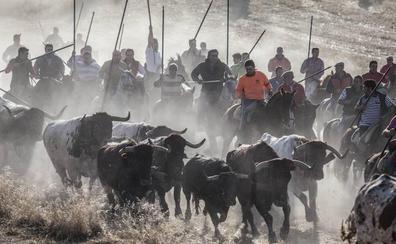 Los encierros de Cuéllar reciben este miércoles el Premio Tauromaquía de Castilla y León
