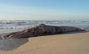 Aparece muerta una ballena de 18,5 metros en una playa de Portugal