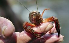 La Junta dará luz verde a la posesión y transporte de cangrejo de río vivo