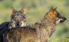 Asaja considera una «necesidad» abatir ejemplares de lobo en Ávila