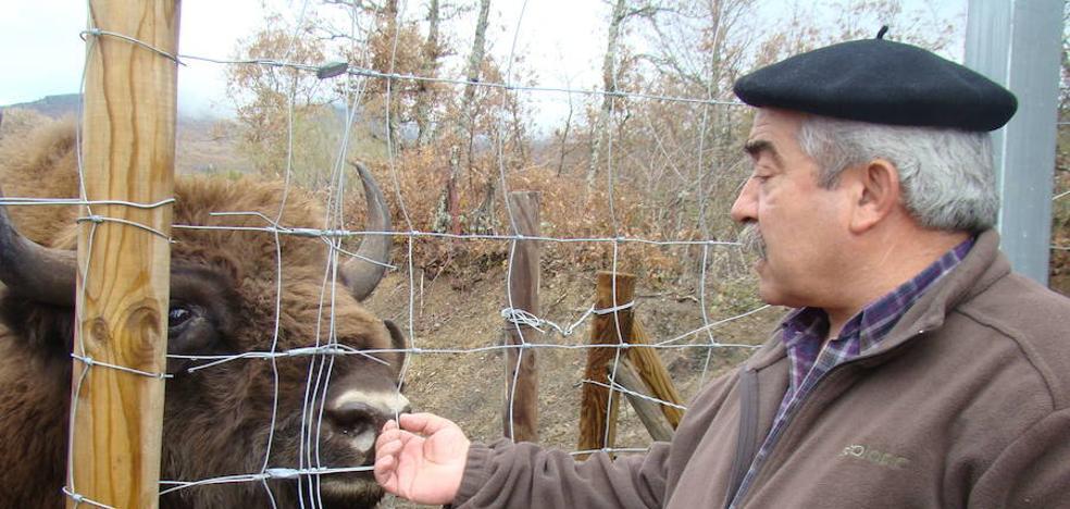 «La Junta dio vida a los bisontes de San Cebrián de Mudá y ahora los puede matar»