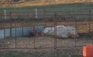 Los buitres matan a una vaca en El Cubo de Don Sancho