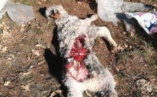 Asaja de Ávila, tras un nuevo ataque de lobos: «Los ganaderos no pueden más»
