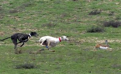 Confirman un caso de mixomatosis en la reserva que acogerá el Nacional de Galgos