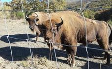 Recaban 2.500 firmas contra los controles veterinarios a los bisontes de San Cebrián