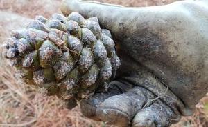 La chinche americana merma la producción de piñón y amenaza a decenas de empresas en Valladolid