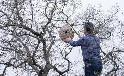 Analizan un nido hallado en Amusquillo, Valladolid, ante su similitud con los de avispa asiática