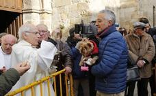 Las mascotas reciben la bendición de San Antón, en Palencia