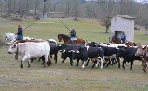 Los toros y los bueyes del encierro a caballo de Ciudad Rodrigo comienzan a hermanarse