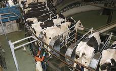 De esta granja de Palencia sale parte de la leche más vendida de España