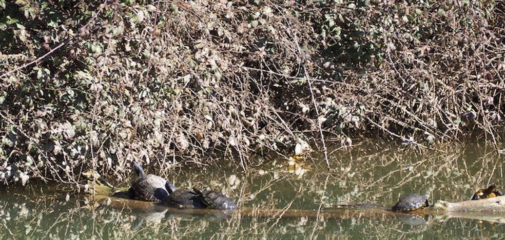 La tortuga de Florida se hace fuerte en el Pisuerga