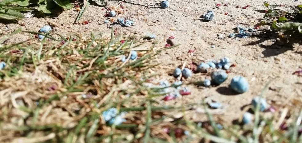 ¿Qué son esas bolitas azules que se ven en el césped de los parques de Valladolid?