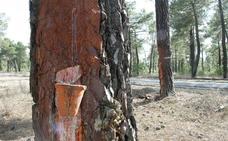Villa y Tierra de Cuéllar obtendrá más de 11.000 euros con la venta de madera